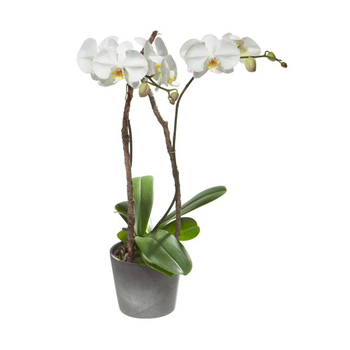 Fleurop White Orchid (Phalaenopsis) in Cachepot